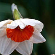 White And Orange Daffodil Art Print