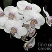 White And Pale Pink Phalaenopsis   9920 Art Print
