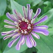 White And Purple Spiky Petals Art Print