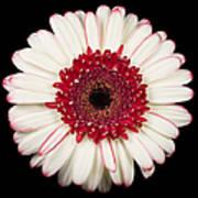 White And Red Gerbera Daisy Art Print
