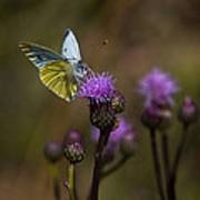 White And Yellow Butterfly On Thistl Art Print
