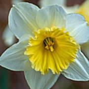 White And Yellow Daffodil Art Print