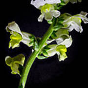 White And Yellow Snapdragons Art Print