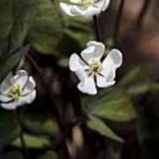 White Anemone Flowers Art Print
