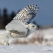 White Angel - Snowy Owl In Flight Art Print by Mircea Costina Photography