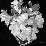 White Azaleas On Black Art Print