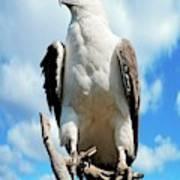 White-bellied Sea Eagle Art Print