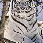 White Bengal Tiger, Forestry Farm Art Print