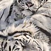 White Bengal Tigers, Forestry Farm Art Print