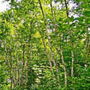 White Birch Along Rivier Du Nord Trail In The Laurentians-qc Art Print