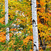 White Birch Autumn Art Print