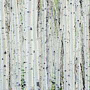 White birch tree forest Art Print