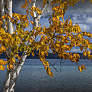 White Birch Tree In Autumn Along The Shore Of Crystal Lake Art Print