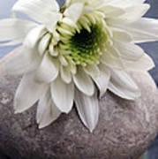 White Blossom On Rocks Print by Linda Woods
