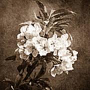 White Blossoms - Sepia Art Print