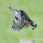 White-breasted Nuthatch Flying With Food Art Print