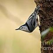 White-breasted Nuthatch Pictures 46 Art Print