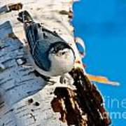 White-breasted Nuthatch Pictures 95 Art Print