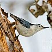 White-breasted Nuthatch Pictures 97 Art Print