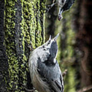 White Breasted Nuthatchs Art Print