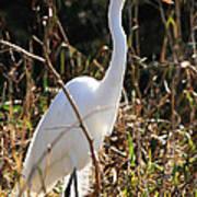 White Brilliance Of The Egret Art Print
