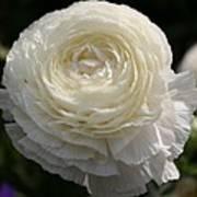White Buttercup - Ranunculus Art Print