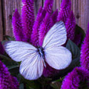 White Butterfly On Flowering Celosia Art Print