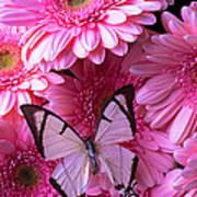 White Butterfly On Pink Gerbera Daisies Art Print