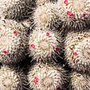 White Cactus Pink Flowers No1 Art Print