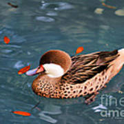 White-cheeked Pintail Art Print