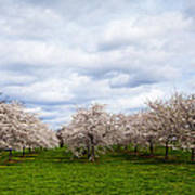 White Cherry Blossom Field In Maryland Art Print by Susan Schmitz