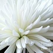 White Chrysanthemum Art Print