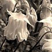 White Columbine Lanterns Monochrome Horizontal Art Print