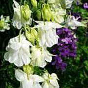 White Columbine With Purple Phlox Art Print