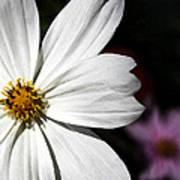 White Coreopsis Art Print