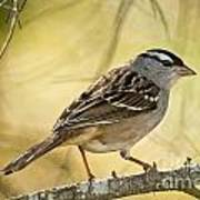 White-crowned Sparrow Pictures 63 Art Print