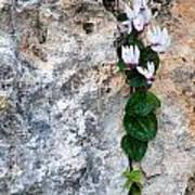 White Cyclamen Flowers Art Print