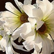 White Daisies In Sunshine Art Print