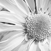 White Daisy Art Print by Adam Romanowicz