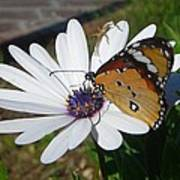 White Daisy And Butterfly Art Print