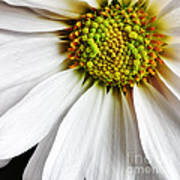 White Daisy Closeup Art Print