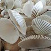 White Double Ark Shells Art Print