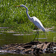 White Egret And Snapping Turtles Art Print
