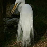 White Egret In The Shadows Art Print