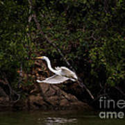 White Egret's Approach   #0615 Art Print