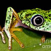 White-eyed Leaf Frog Art Print