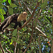 White-faced Capuchin Monkey In Manuel Antonio National Preserve-costa Rica Art Print