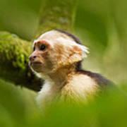 White Faced Capuchin Monkey Portrait Art Print