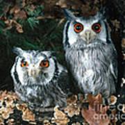 White Faced Scops Owl Art Print by Hans Reinhard