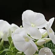 White Flowers 3 Art Print